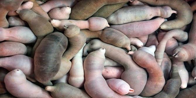 Binatang persis penis