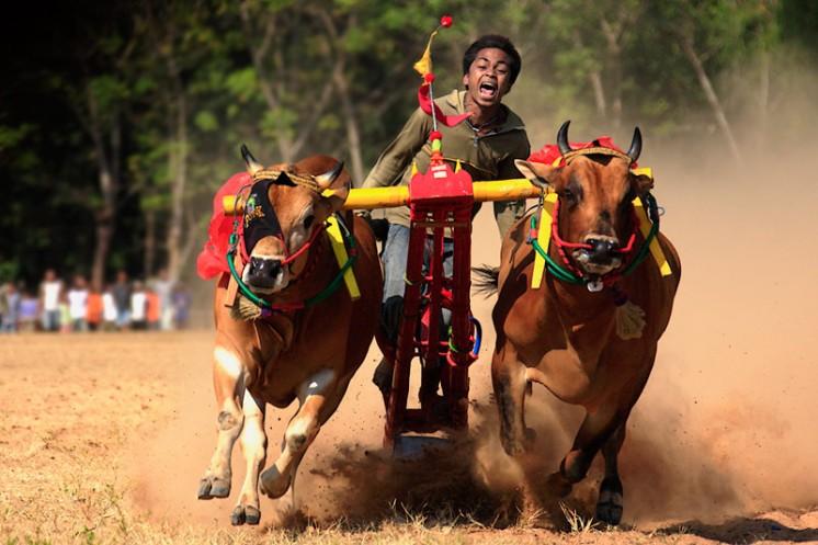 Tradisi karapan sapi