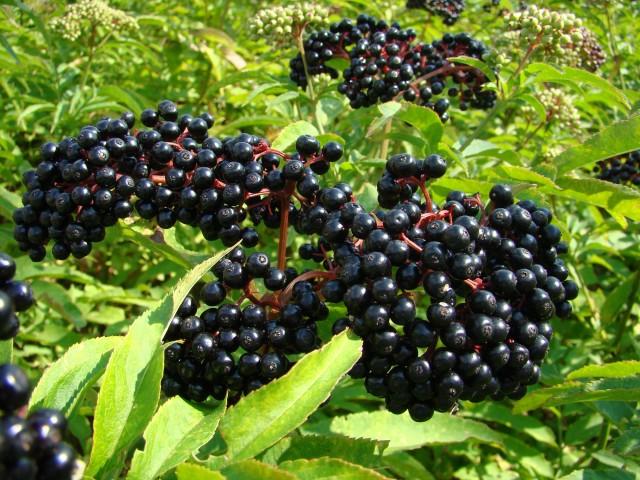 Buah Beracun - Buah Elderberry
