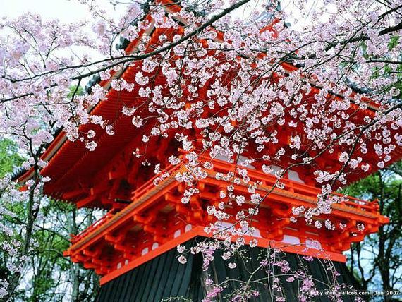 Festival Bunga Sakura, Jepang