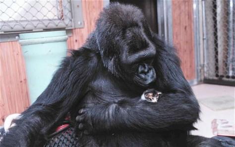 Gorila Paling Terkenal di Dunia