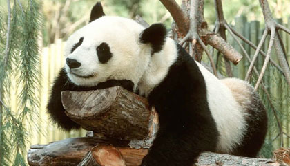 Panda Raksasa di San Diego Zoo